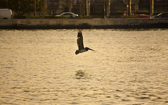 Pelicano bahia de la habana 580x363