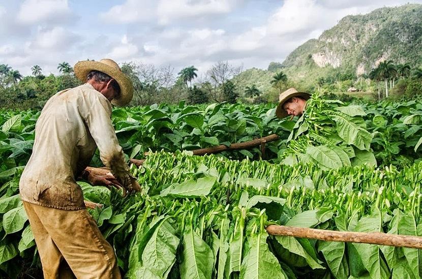 Siembras de Tabacos En Pinar de Rio Cuba 2014
