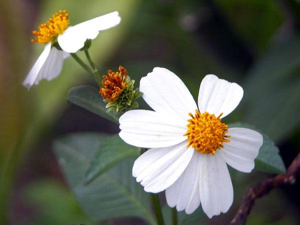 flor romerillo naturaleza foto abel rojas barallobre