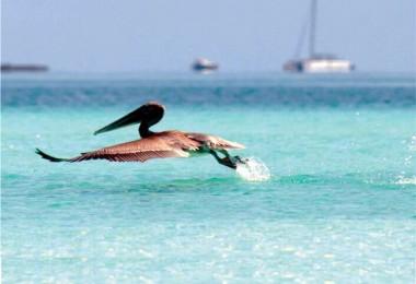 Pelícano en área protegida Sabana-Camagüey